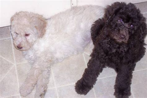 f1b goldendoodle puppies for sale california f1b goldendoodle puppies for sale adoption from belleville ontario bay of quinte