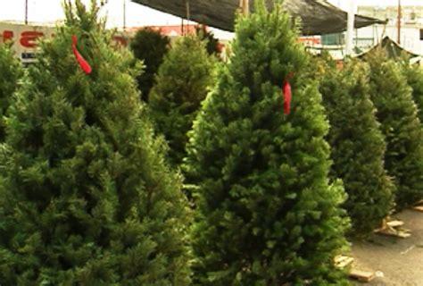 comerciantes de pinos navide 241 os se quejan de la crisis