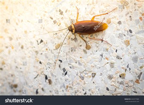 roaches in bathroom only cockroaches in the bathroom stock photo 443377585