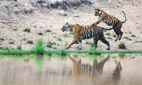 what are the different types of tigers living where do tigers live and other fun tiger facts stories wwf