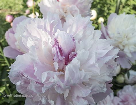 pink peonies photograph by ruby hummersmith pink and white peonies sara s fave photo blog
