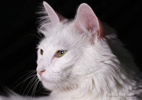 imagenes en blanco de gatos gato blanco significado razas y fotos
