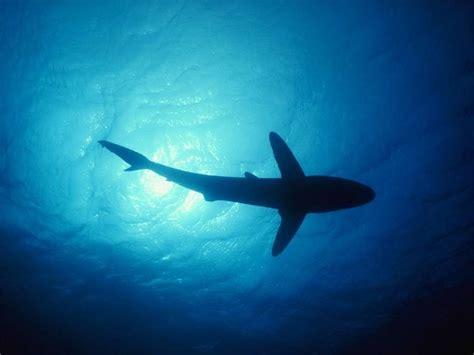 imagenes de tiburones wallpaper t 233 l 233 charger fonds d 233 cran requin gratuitement