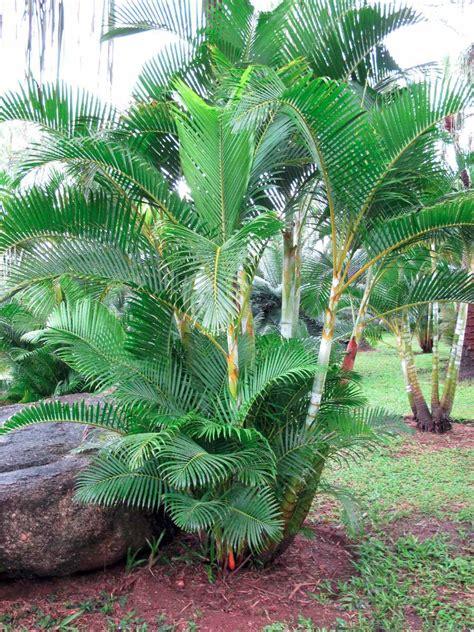 15 Benih Bunga Palmeira Areca Bambu palmeira areca bambu sementes para muda flor r 7 99 em mercado livre