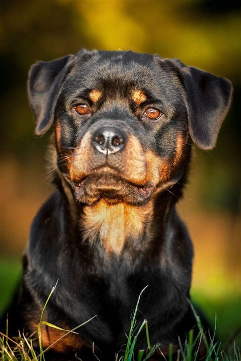 rottweiler puppy names and meanings names unique ideas for your or