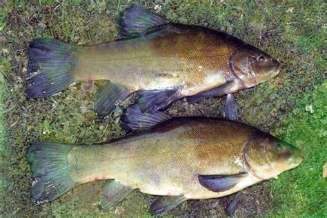 nz fishing boats book tench fishing in new zealand course fish species