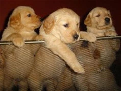 golden retriever puppies for sale jacksonville fl golden retriever puppies in florida