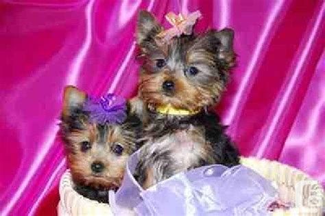 yorkies for free adorable tinny teacup yorkies puppies for free adoption for sale in acadie siding new