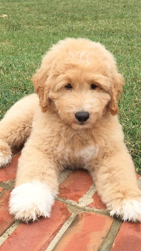 doodle puppy types 77 best pyredoodles images on the o jays