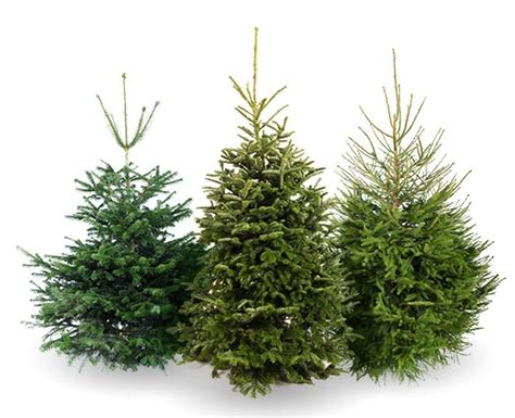 christmas trees special offers hales sawmills