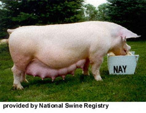 stillwater yorkies breeds of livestock swine breeds of livestock department of animal