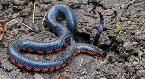 Lousiana Black Cardi snake id guide