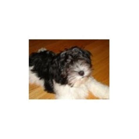 havanese breeders in ma homegrown havanese havanese breeder in upton massachusetts 01568 freedoglistings