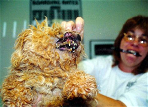 puppy mills in florida puppy mill raid news florida poodle rescue