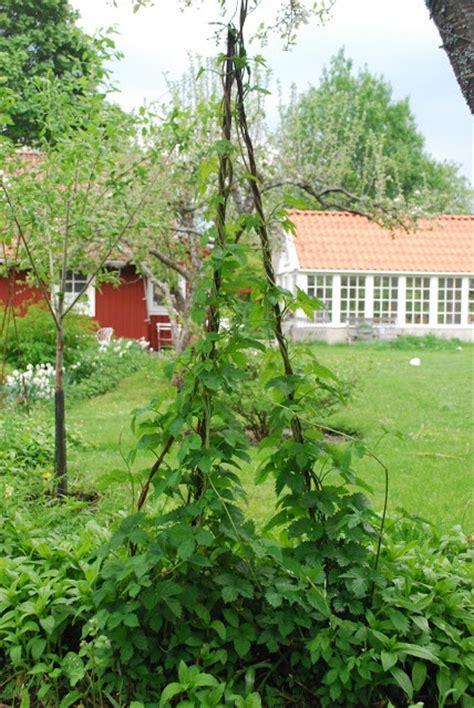 Green Garden Trellis Julias Vita Dr 246 Mmar Armeringsj 228 Rn Som St 228 Llning F 246 R Humle