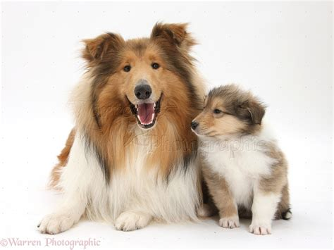 collie puppy collie and puppy photo wp38066