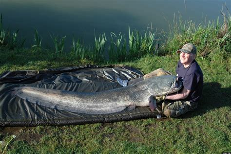 Search Catfish Wels Catfish By Fisherman Rodney Weighed Almost 115 Pounds Photo