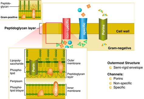 cellular structure  bacteria  infections