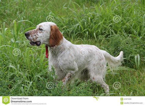 setter dog training english setter pointing quail stock image image 41871559