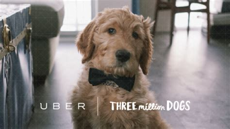 uber puppies uber delivers puppy play time to adoption day toronto cbc news