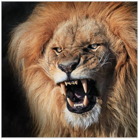 imágenes de leones juntos el rey de los animales taringa