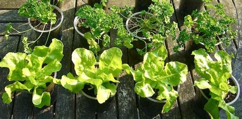 vegetables you can grow in pots vegetables you can grow in pots top 10