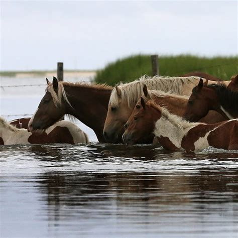 pony island picture7 chincoteague ponies on pinterest ponies swim and islands