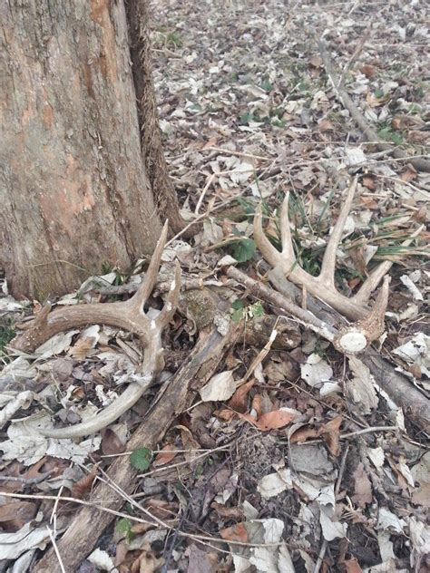 Buy Antler Sheds by How To Articles For More Successful Shed Antler