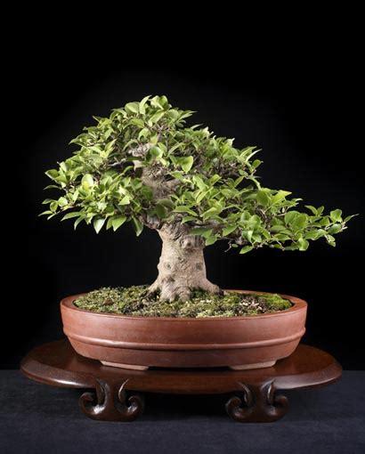 Bakalan Bonsai Beringin Dari Bibit bonsai pohon beringin dan gambar