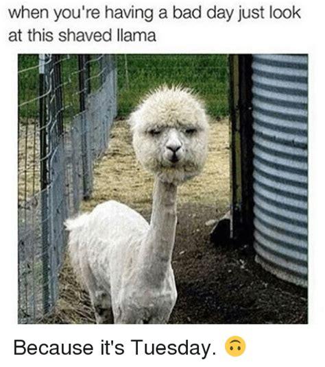 Shaved Llama Meme - 25 best memes about shaved llamas shaved llamas memes