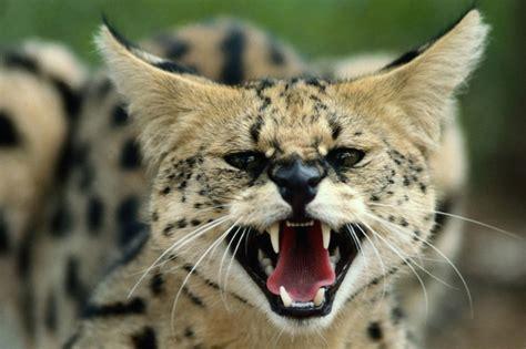 big cat attack of the big cats facts big cat week article nat