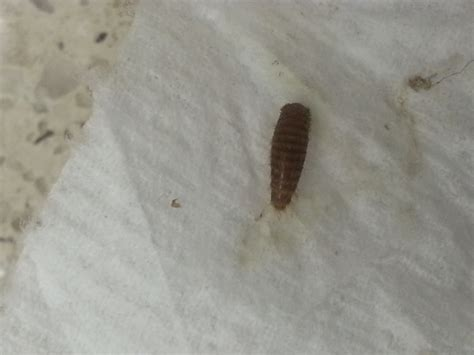 black worm like bug in bathroom carpet beetles in bathroom 28 images carpet beetles in