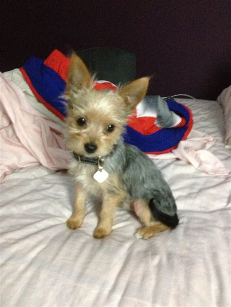 teacup yorkies for sale in st louis mo 13 best images about chorkies on chihuahuas my boys and yorkie