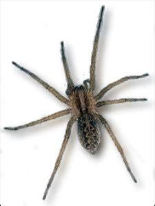 common hobo spiders  washington whitworth pest solutions