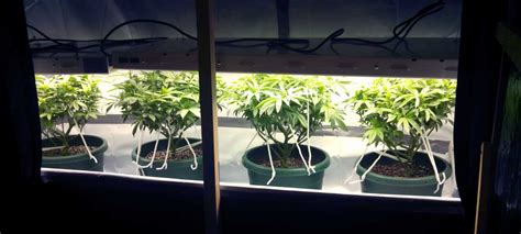 best fluorescent grow lights for weed using t5 grow lights for cannabis grow weed easy