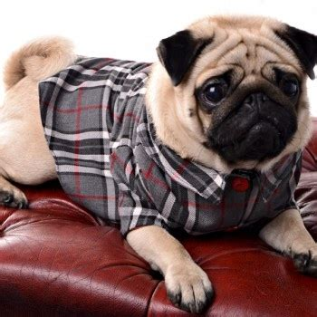 dapper pug 364 best images about pug on see more ideas about valentines pug