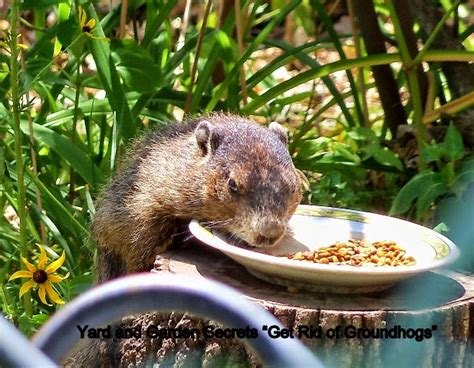 how to get rid of a groundhog in my backyard yard and garden secrets get rid of groundhogs permanently