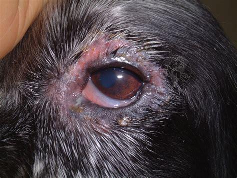 blepharitis in dogs blepharitis and vitiligo
