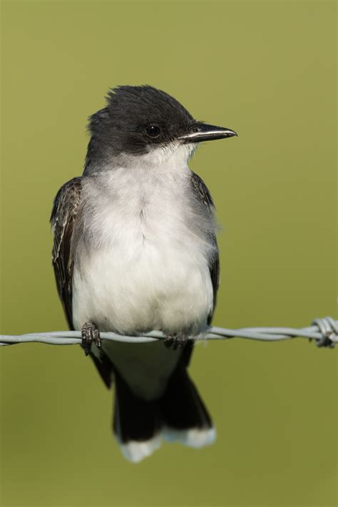 bird on a wire birds of ontario