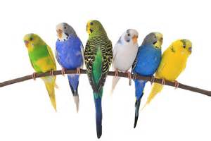 budgie colors budgie colour types varieties and types budgie guide