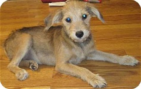 norwich terrier yorkie mix kiwi adopted puppy houston tx yorkie terrier norwich terrier mix