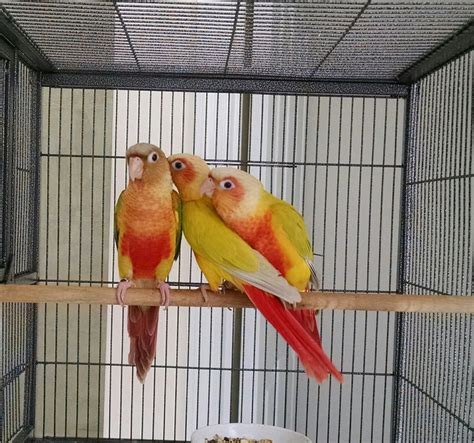 green cheek conure 135548 for sale in wentzville mo