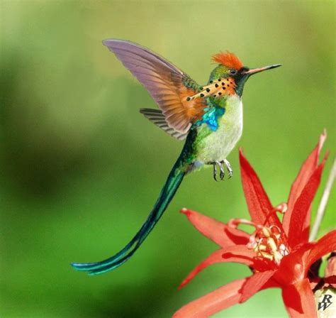 17 best ideas about hummingbird pictures on pinterest