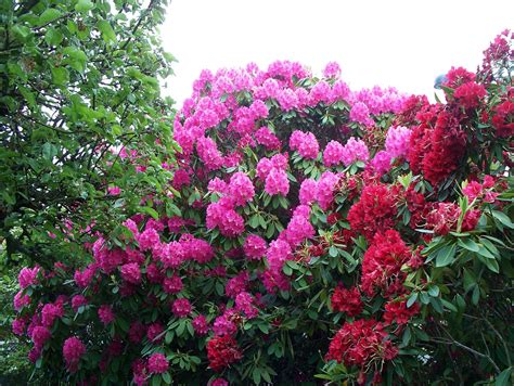 colorful photos of the rhododendron flowers places boomsbeat