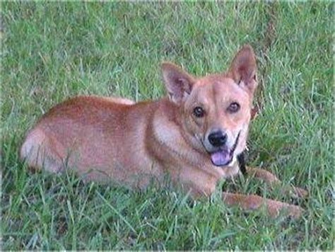 rottweiler shiba inu mix mixed breed pictures with bios 11