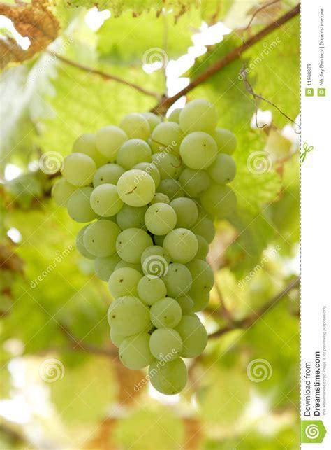 uvas blancas imagenes racimo de uvas blancas im 225 genes de archivo libres de