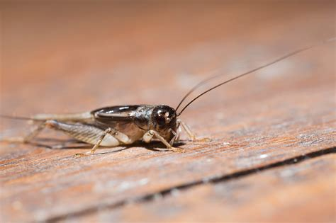 how to get rid of crickets treat for crickets terro