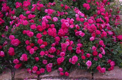 anisti ibuno flowers ground cover roses