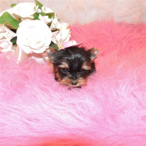 teacup yorkie puppies for sale nj tiny teacup terrier puppies for sale dogs in our photo