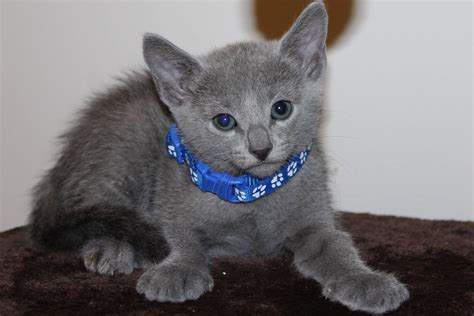 Royal Blue Cats kitten c1 rafael royal blue cats